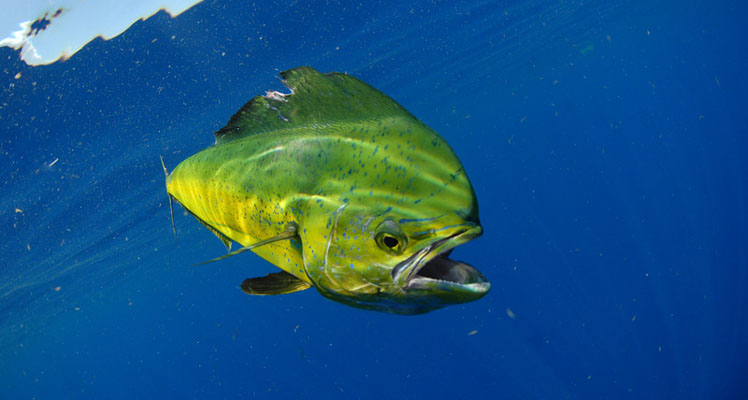 how to catch mahi mahi
