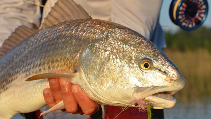 Fly fishing for redfish 5 tips for catching reds on the for Redfish fishing tips