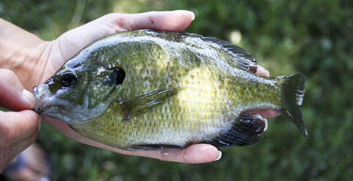 how to catch big bluegill