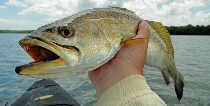 how to catch speckled sea trout